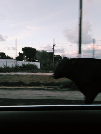 Cow in Carini