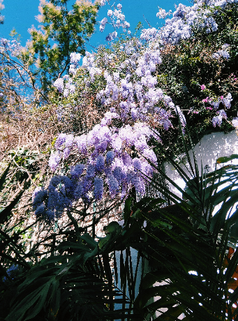 Purple flowers in Taormina