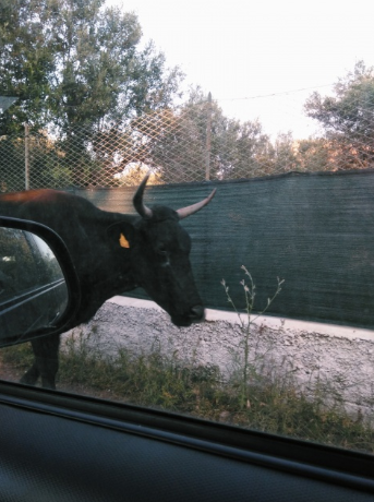 Cow on the street.png